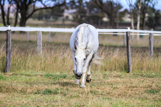 HH Grey Andalusian trot direct front