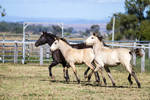 HH Iberian foals trot side view