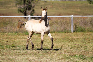 HH Iberian trot side view foal by Chunga-Stock
