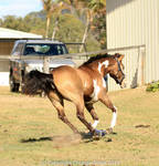 VR Pinto canter view from behind all legs up