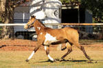 VR Pinto trot side view