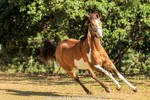 VR Pinto canter front view