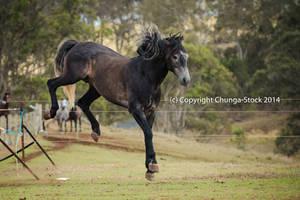Carlos Andy Stallion kicking buck by Chunga-Stock