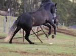 Carlos Andalusian Stallion Rear Leap