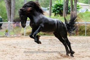 E friesian Leaping rearing jumping side view