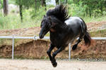 E Friesian leaping up into the air