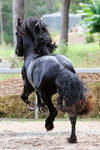 E Friesian leaping big canter view from behind
