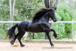 E Friesian cantering side view