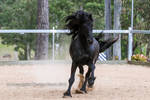 E canter front on friesian