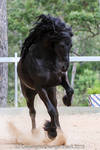 E Friesian leaping up front view