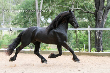E Friesian black trot side view extended all legs