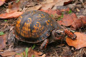 Box Turtle by desmo100