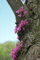 Red Bud by desmo100