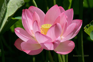 Lotus Unfolding by desmo100