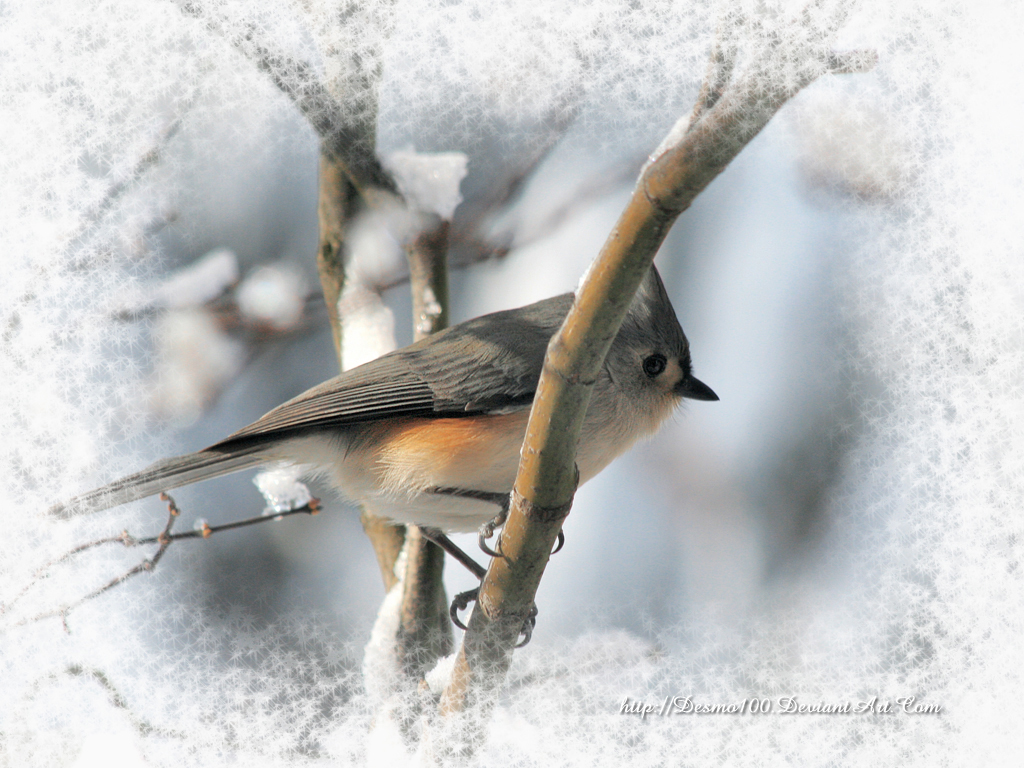 Tufted Titmouse in Winter by desmo100 on deviantART