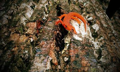 Orange Salamander by CannibalSativa