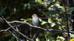 2012 October 06 1314.00.  White-Crowned Sparrow