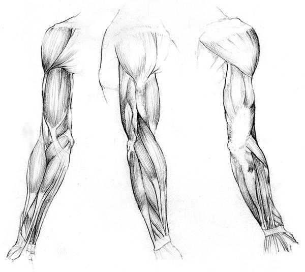 Gallery For > Arm Muscles Drawing Arm Muscles Drawing