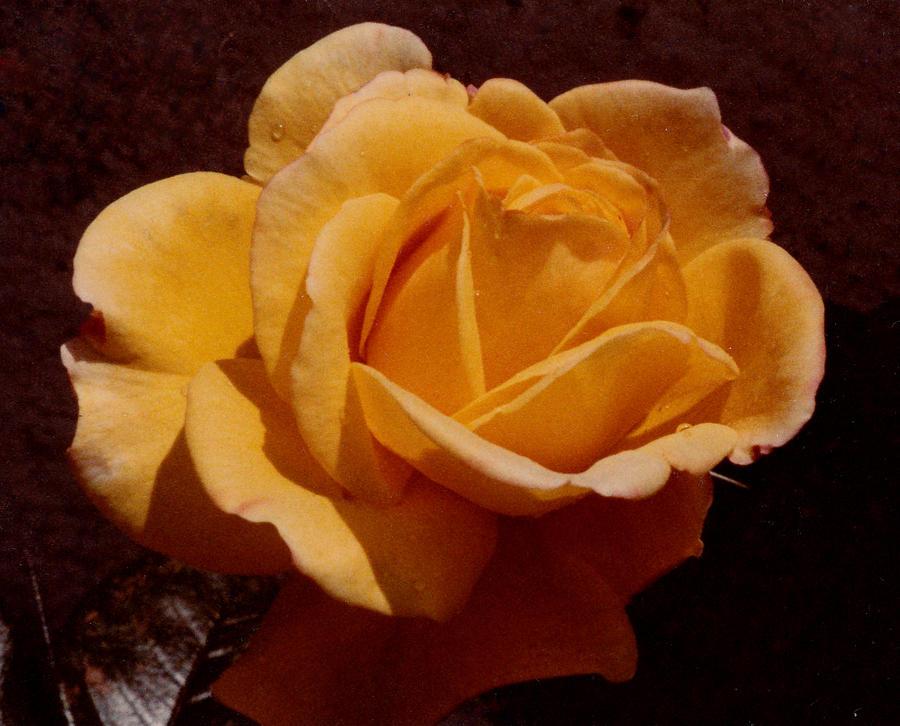 A Rose for Tea by JulianasGrandma