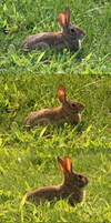 Tntr73 stock img - Four shots of brown rabbit by tntr73