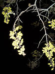 Euonymus seed pods at night