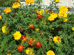 Patch of marigolds in garden: gold, orange and red