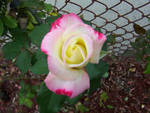 Pink white and yellow rose in an urban jungle