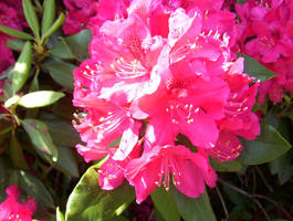 Pink rhododendron flowers in Holyoke MA by caspercrafts