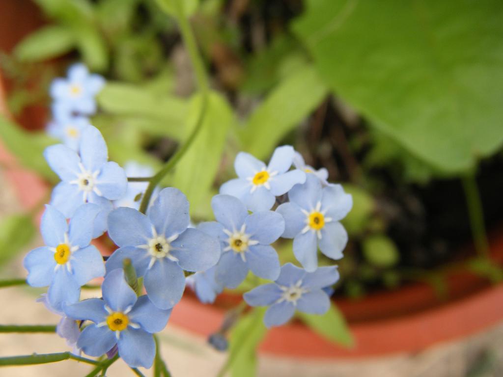 Forget me not Flowers by DuneDrifter