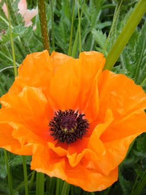 Orange Poppy by DuneDrifter