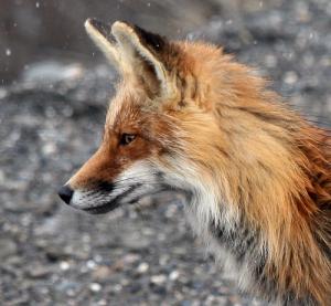 AlpinusTheFox's Profile Picture