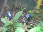 Shedd Aquarium Blue Frogs