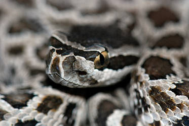Crotalus helleri Closeup by michael-ray