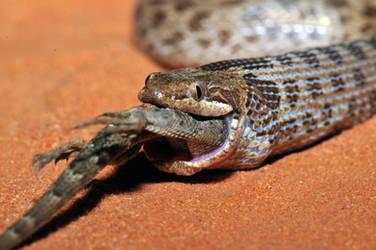 Hypsiglena feeding by michael-ray
