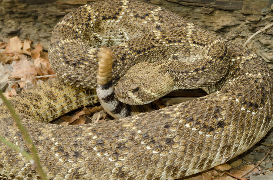 What do baby rattlesnakes look like  Quora