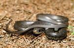 Coluber constrictor priapus
