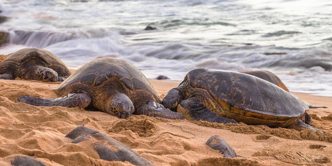 Honu Ke Aloha by AndrewShoemaker