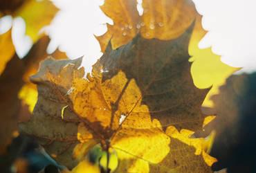 Lost Maple Shadows