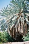 huge freakin palm tree