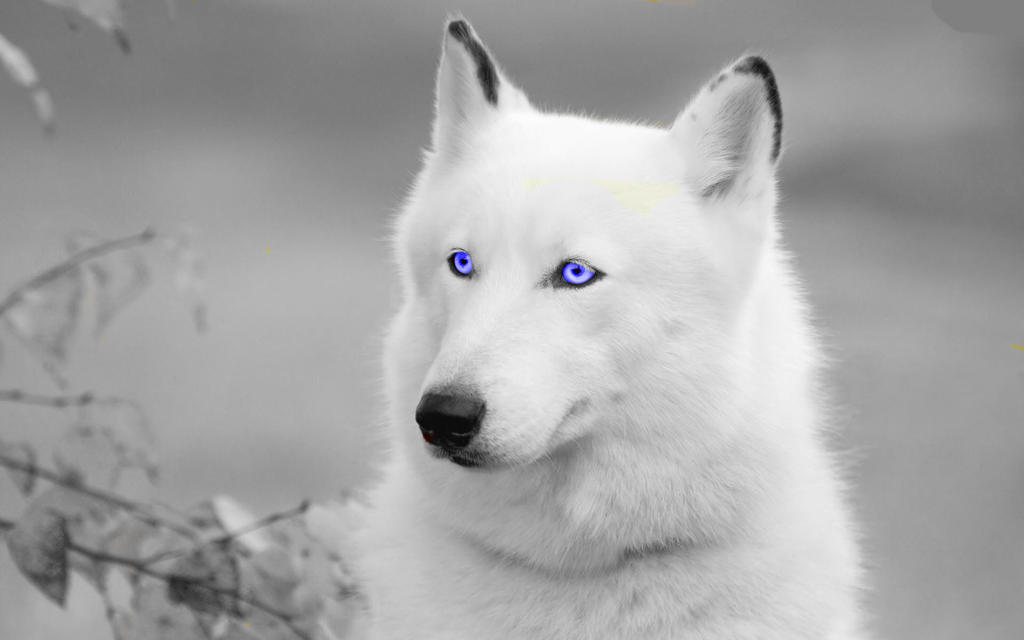 Cute white wolf pup with blue eyes - photo#27