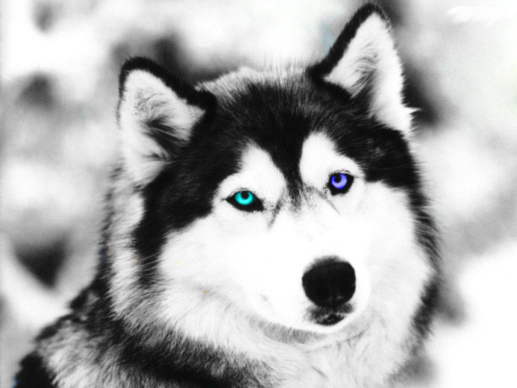 Black And White Wolf by White Wolf Blue Eyes Face