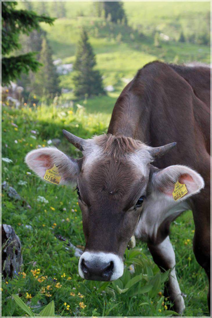 Curious Cow by Shiranui