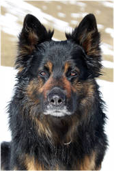 Happy Chodsky pes