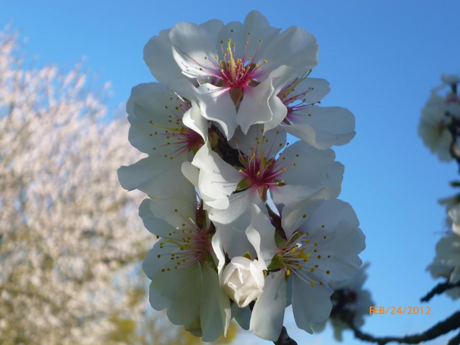 Plum Blossom in Spring by StormOfTheEquinox
