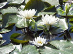 White Flowers on a Lake