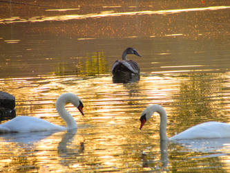Swans and a duck floating on a golden lake by adenisej25