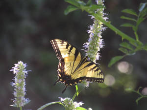 Beautiful Yellow and Black Butterfly
