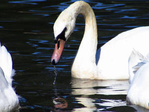 Swan drinking from the lake