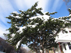 A snow tree
