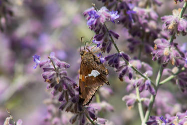 Lavender Butterfly
